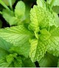 Menta Verde, Sementes Minigarden